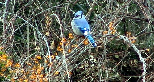 Blue Jay, Cambridge