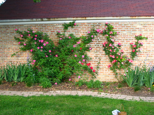 Wall full of blooming roses.