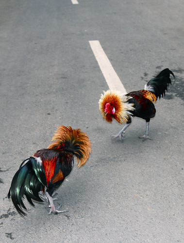 Cock Fight!!