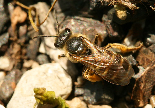 Mining bee - Andrena sp.