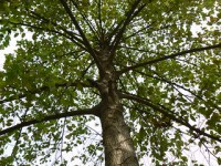 Leichhardt Pine