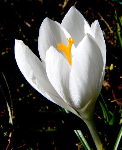 White Crocus, Yellow Stamen