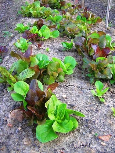 Lettuce in my garden
