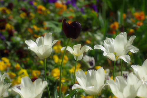white tulips, istanbul tulip festival, istanbul, pentax k10d