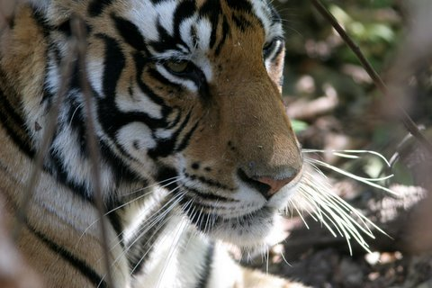 the white-whiskered tigress!