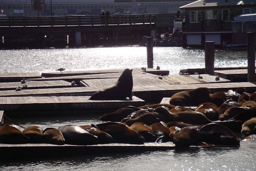 San Francisco Sea Lions by cubechick