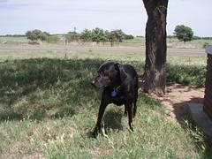 Angus in TX