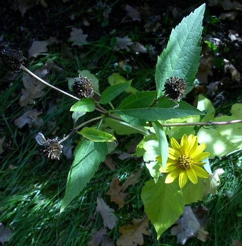 Herbstliche Blume