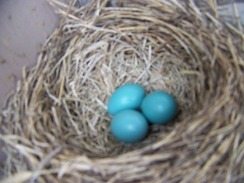 Three little blue eggs