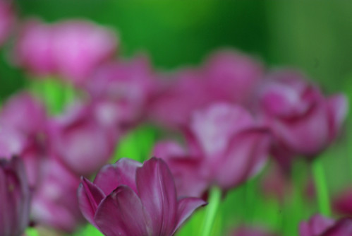 purple tulips, Istanbul Tulip Festival, Pentax K10D
