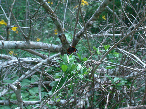 Look Close for the Red Admiral