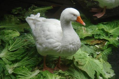 吃高麗菜葉的鴨_5