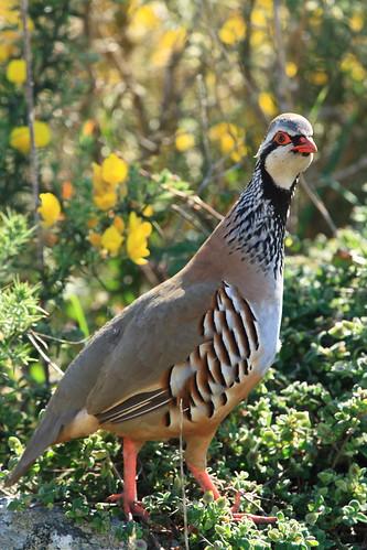 Pájaro perdiz que parece casi una persona (flickr de chausinho)
