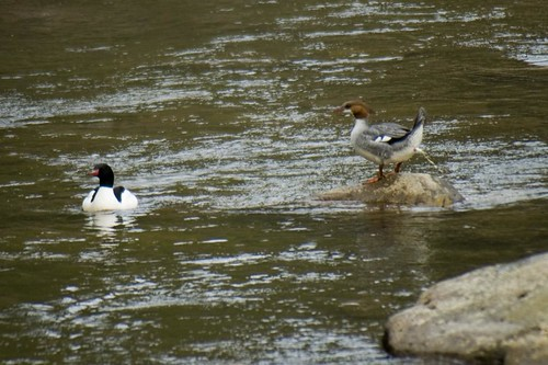 Common Merganser Pooping