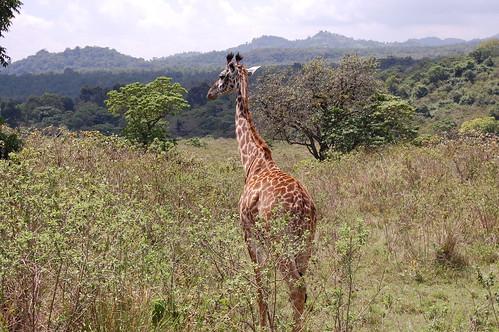 Twiga kidogo, Arusha National Park