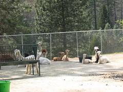 2008Apr19_Alpacas_1885