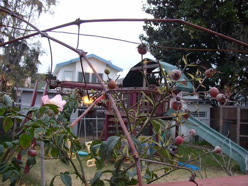 december rose and grape vine