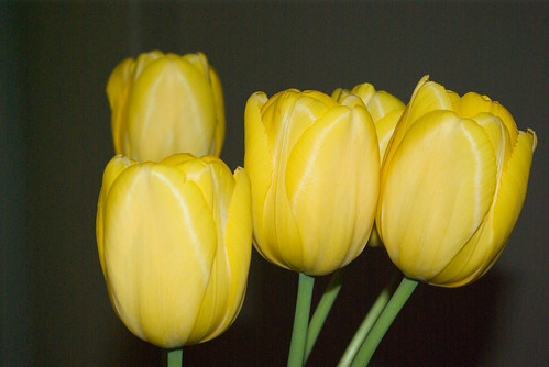 yellow tulips,  istanbul, pentax k10d
