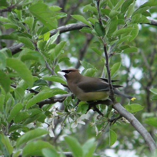 WaxwingApplePettle