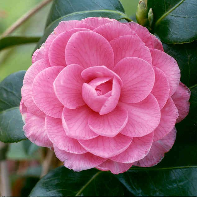 CAMELLIA X WILLIAMSII  E.G.WATERHOUSE