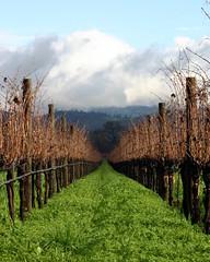 A vineyard's winter