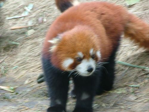 Chengdu's Pandas (2/6)