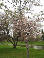 Sakura on Queen Elizabeth's Driveway