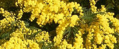 mimosas.jpg