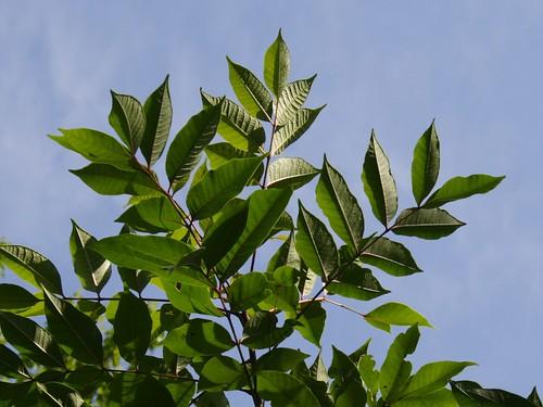 Poison Sumac Leaves Closeup