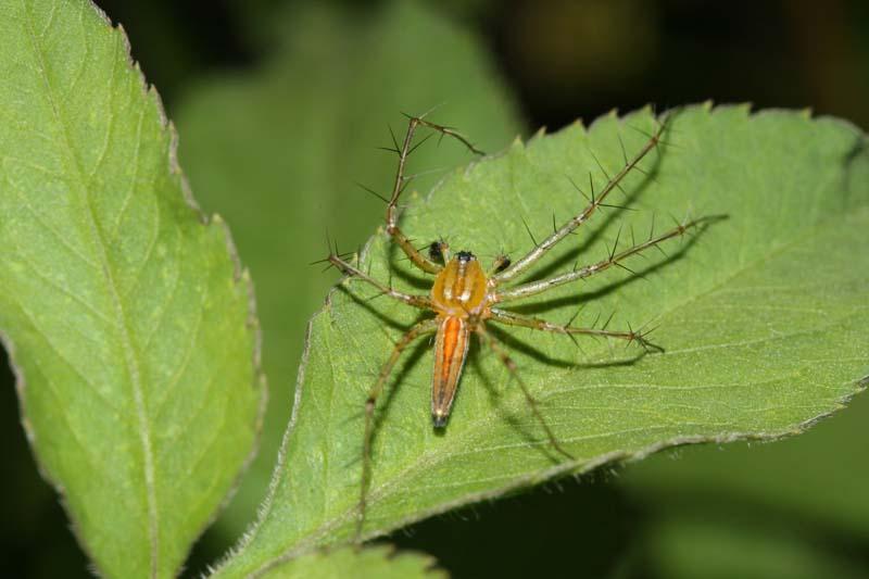 香港蜘蛛分科 Hong Kong Spiders Family - 蜘蛛 Spiders - HKWildlife.Net Forum 香港自然生態論壇