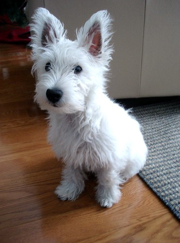 First Haircut West Highland White Terriers