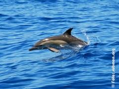 Delfin Común
