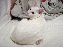 cat-yoga
