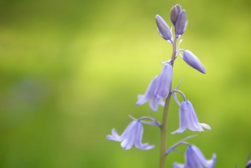 Garden Violet