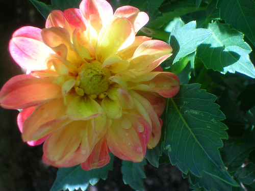 Dahlia-bloom