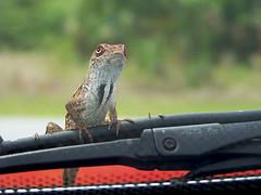Lizard Rollercoaster