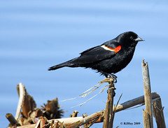 Male Red-winged Blackbird - Alfred Lagoon