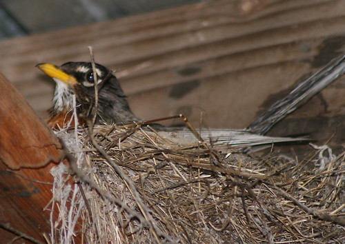 nesting american robin