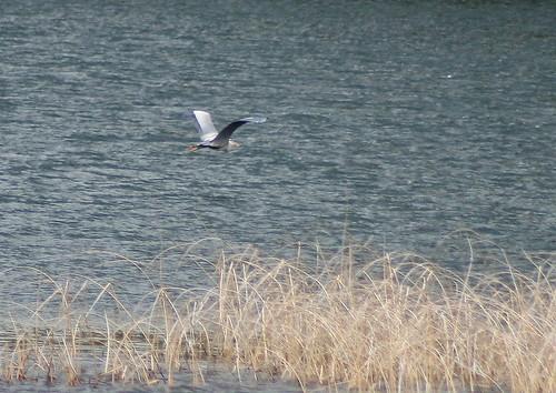Great Blue Heron (in flight)