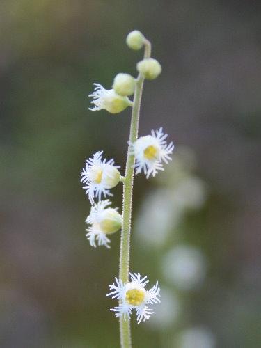 Miterwort, <i>Mitella diphylla</i>
