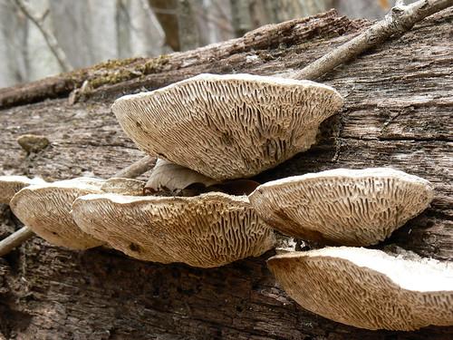 Sinking Creek Mountain - Mushrooms