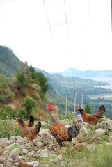 Toba Chickens by Ben Peters