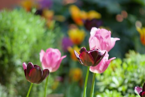 black tulips ,istanbul tulip festival, istanbul ,pentax k10d