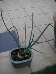 My Onion Plant