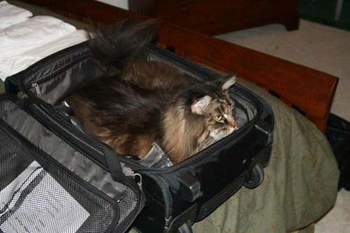 Chat dans bagage à main, par Chris D @ Flickr.