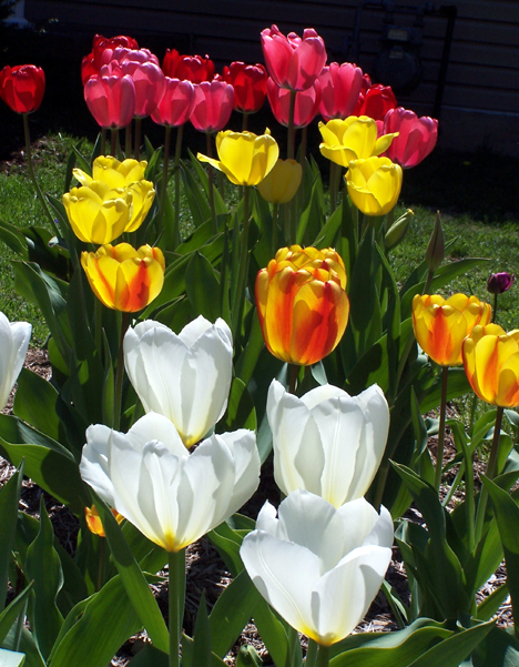 Tulip Patch