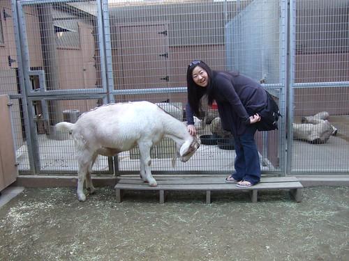 Cute goat @ petting zoo