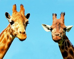 Two giraffe