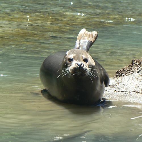 Seal at Seal Rock