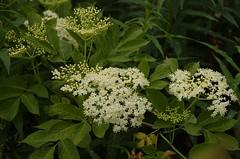 Sambucus nigra - vlierbloesem